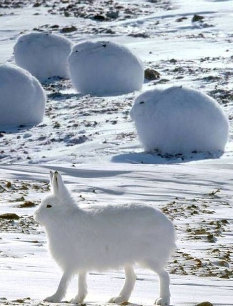 Полярные зайцы